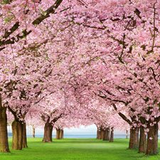 DM385 Cherry Trees Wall Mural by Brewster